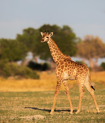 The wanderer (Thomas Retterath) Tags: 2019 safari nopeople natur nature okavangodelta botswana africa afrika kwara giraffe giraffidae pflanzenfresser herbivore säugetier mammals animals tiere giraffacamelopardalis wildlife