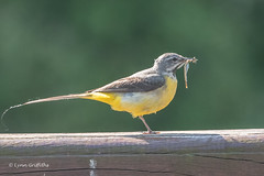 Grey Wagtail with a snack 502_0808.jpg (Mobile Lynn) Tags: birds pipitswagtails greywagtail nature wagtail bird fauna motacillacinerea motacillidae oscines passeri passeriformes songbird songbirds wildlife windsor england unitedkingdom specanimal
