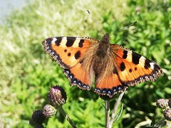 Butterfly 1920 (Aglais urticae) (+1800000 views!) Tags: butterfly borboleta farfalla mariposa papillon schmetterling فراشة