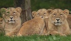 asiatic lion Blijdorp BB2A1034 (j.a.kok) Tags: animal asia azie mammal zoogdier dier cat kat predator blijdorp asiaticlion asianlioncub aziatischeleeuw aziatischeleeuwenwelp leeuw lion pantheraleopersica specanimal specanimalphotooftheday