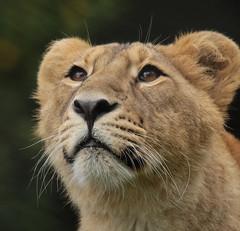 asiatic lion Blijdorp BB2A1403 (j.a.kok) Tags: animal asia azie mammal zoogdier dier cat kat predator blijdorp asiaticlion asianlioncub aziatischeleeuw aziatischeleeuwenwelp leeuw lion pantheraleopersica specanimal