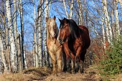 Rencontre inattendue avec ces dames... (Savoie 12/2019) (gerardcarron) Tags: bauges campagne canoneos80d chevaux horses forest hiver puygros winter