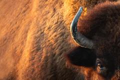 """You Made Quite the Impression"" (michael.cessna) Tags: bison buffalo abstract americanbison minedlandwildlifearea crawfordcounty crawfordcountykansas kansas sunset plainsbison kansasstateanimal bisonamericanus 1955 lesboeufs sigma sigma150600mm wildlife bobgrant bobgrantbisonherd impression mattwoods artistic bisonbellows impressionism"