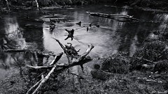 Bois flotté mort de rivière (Un jour en France) Tags: canoneos6dmarkii canonef1635mmf28liiusm bois boisflotté rivière eau noiretblanc noiretblancfrance monochrome black