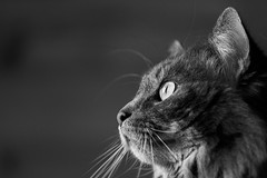 Photoshoot de Loki en lumière naturelle (uluqui) Tags: cat animal portrait kitty lowkey mainecoon canon 6d blackandwhite bw noiretblanc