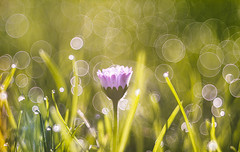 Daisy (Dhina A) Tags: sony a7rii ilce7rm2 a7r2 a7r dukane 3inch f25 dukane3inchf25 vintage bokeh circlebokeh projector projection lens trioplan diaplan pentaconav daisy flower water drops dewdrops