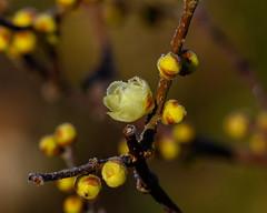 Frozen wintersweet (shinichiro*) Tags: 町田市 東京都 日本 20200105ds28328 2020 crazyshin nikonz6 z6 ftz sigma150600mmf563dgoshsmcontemporary january winter tokyo japan jp 薬師池公園 flower macro 49332334927 candidate