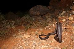 Egyptian Cobra (Naja haje legionis) (danko.leska) Tags: cobra snake reptile animal wildlife night nature rocks desert morocco biology zoology herpetology