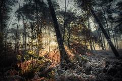 Alone with myself the trees bend to caress me. The shade hugs my heart (Ingeborg Ruyken) Tags: ochtend morning sunrise 500pxs natuurmonumenten boxtel natuurfotografie autumn fall kampina herfst