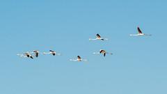 I am coming back from holidays (SLpixeLS) Tags: france camargue lake marsh wildlife flamingo pink bird fly flying sky blue