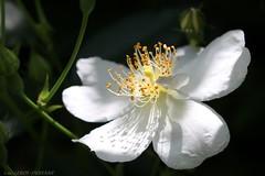Rosa sempervirens (LLD photographie) Tags: rosiertoujoursvert rosasempervirens rose rosier rosa fleur nature botanique jardin macro