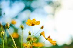 yellow is happy (PHOTOGRAPHYSUAT) Tags: yellow green glower garden plant nature cosmos bright light nice beautiful vibrant nikon bokeh dof blure 50mm niftyfifty f18