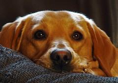 Eye to eye with Sky..x (Lisa@Lethen) Tags: sky dog labrador yellow female girl she pet fun lovely