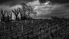 Next year's wine (@Mlk_Dahoui) Tags: vine wine blackandwhite bw clouds sky france trees new winter nikond750 landscape agricultural bad weather picture photography horizon wood view morning rain wet cold nature mist foggy day