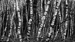 Silver Birch Forest (M.T.A.V) Tags: silver silverbirch birch wood westsussex woodland woods common tree trees wooded south southdownsnationalpark southdowns ambersham forest white bw blackandwhite blackwhite black monochrome countryside woodlandwalk contrast nationalpark canon canoneos750d canon750d efs1855mm pattern heyshott