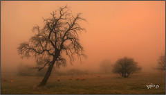The Pear Tree. (Picture post.) Tags: landscape nature green sunrise fog frost ice sheep trees winter fields paysage arbre brume