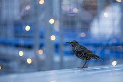 Starling (Daniel Trim) Tags: urban nature bird birding birds wilflife animals market shopping starling common sturnus vulgaris christmas lights light fairy