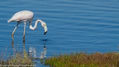 Greater Flamingo (immature) (xrxss15) Tags: algarve alvor animalia animals aves birds europe flamingos greaterflamingo jungtier phoenicopteridae phoenicopterusroseus portugal riadealvor rosaflamingo tiere vögel immature juvenile