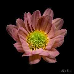 One flower (Magda Banach) Tags: nikond850 pinkflower colors flora flower green macro nature pink plants yellow