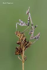 Empusa (Raul Espino) Tags: canon100mml canon6dmarkii macro macrofotografia natural naturaleza sevilla heliconfbtube empusapennata insectos