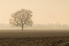 A vol d'oiseau... (Gisou68Fr) Tags: arbre tree fields champs hiver winter brume oiseaux birds pigeons matin morning janvier 2020 mist misty brumeux ambiance 68 hautrhin alsace grandest france