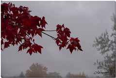 OCTOBER 2019 _975_NGM_3975-2-222 (Nick and Karen Munroe) Tags: red redmaple maple mapletree trees tree fog foggy winterfog mist misty fogpatches fall autumn fallsplendor fallcolours karenick23 karenick karenandnickmunroe karenandnick munroe karenmunroe karen nickandkaren nickandkarenmunroe nick nickmunroe munroenick munroedesigns photography munroephotoghrpahy munroedesignsphotography nature landscape brampton bramptonontario ontario ontariocanada outdoors canada d750 nikond750 nikon nikon2470f28 2470 2470f28 nikon2470 nikonf28 f28 colour colours color colors