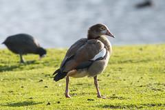 Egyptian Goose Alopochen aegyptiaca (Barbara Evans 7) Tags: egyptian goose alopochen aegyptiaca longparish hampshire uk barbara evans7