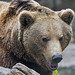 Brown bear quite close