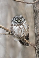 ''Boxing day!'' Nyctale de tengmalm-Boreal owl (pascaleforest) Tags: oiseau bird animal passion nikon nature wild wildlife faune québec canada owl
