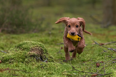 Run for training (The Papa'razzi of dogs) Tags: spaniel workingspaniel pet nature dog outdoor whisky cocker animal