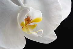 WhiteOrchid1Smaller (2) (2) (Rich Mayer Photography) Tags: orchid orchids flower flowers nature nikon