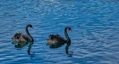 On the lake... (eyedocal) Tags: florida lake orlando lakeeola swans blackswans