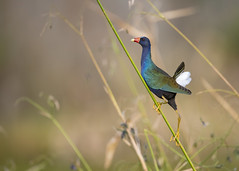 Approaching the Summit (PeterBrannon) Tags: bird florida leaping nature porphyriomartinica purplegallinule swamphen wildlife