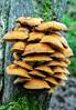 more Honey Fungus