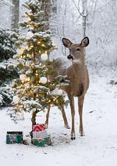 Winter Wonder in my yard (Nancy Rose) Tags: nr20200105canoneos6d9798panoedit deer whitetaildeer snowing christmastree outdoors nature backyard gifts morning winter snow sonya73