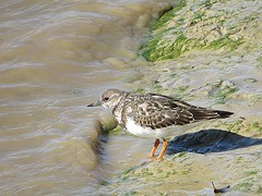 Ruddy Turnstone (Arenaria interpres) (grubby1949) Tags: ruddyturnstone bird beak wader birdwatchers birdwatching uk sussex arenariainterpres