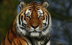 Tiger (Allan Jones Photographer) Tags: tiger bigcat tigercloseup pantheratigris animal cat nature beauty majestic allanjonesphotographer canon5div bokeh