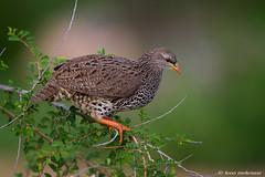 Natal Spurfowl (leendert3) Tags: leonmolenaar southafrica krugernationalpark wildlife wilderness wildanimal nature naturereserve naturalhabitat natalspurfowl bird ngc npc coth coth5