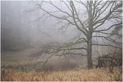 misty morning (derkleinebiber) Tags: baum tree forest woodland haze mist fog minimalist intimate