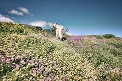 Springtime in Greece ( WimKok) Tags: canon eos7d 1022mm greece peloponnesos spring springtime abby whiteshepherd dog flowers bouquet voorjaar