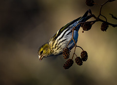Carduelis spinus (Samuli Koukku) Tags: carduelisspinus siskin vihervarpunen bird animal wildlife outdoor nature naturephotography finland seurasaari