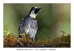 Acorn woodpecker #2 (Jan H. Boer, Nature photographer) Tags: melanerpesformicivorus acornwoodpecker eikelspecht birds woodpeckers nature wildlife portrait costarica sangerardodedota highlands nikon d500 afsnikkor200500f56e jansphotostream2020