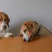 Beagle housework