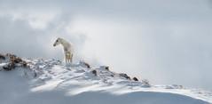 THE LOOKOUT (WilsonAxpe) Tags: colorado wildhorse mustang