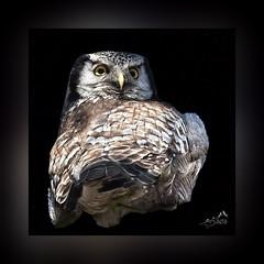 IMGL5861  Northern Hawk Owl (SØS'Art) Tags: art artistic filterforge photoshop photomanipulation digitalart solveigøsterøschrøder nature colors bill birds danmark eyes fugle høgeuglenorthernhawkowlsurniaulula natur owls ugler vestamager 100views sharingart 300views