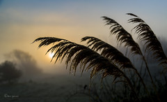 Through the grass. (Through Bri`s Lens) Tags: sussex sunrise mist frost pampasgrass f4 capture backlight brianspicer canon5dmk3 canon24105f4l