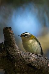 roitelet triple bandeau (Mickaël Batel) Tags: 2019 roitelet regulus ignicapilla common firecrest nature nikon oiseaux birds
