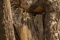 Find me if you can (Donna Hampshire) Tags: indianscopsowl otusbakkamoena owl wildlifeofindia birdsofindia birds birdofprey nature wildlife hidden camouflage explore