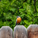 Fence Sitter 03