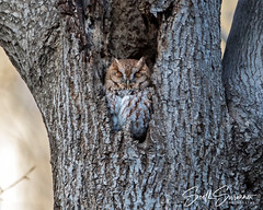 Lazy Sundays (DTT67) Tags: owl easternscreechowl 5dmkiv canon bird nature